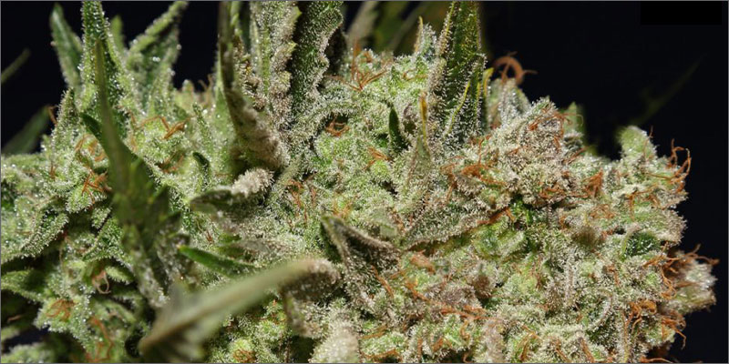 strains for pain 7 The Best Strains of Marijuana For Pain Relief