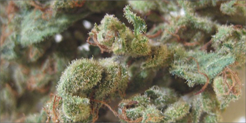 strains for pain 9 The Best Strains of Marijuana For Pain Relief