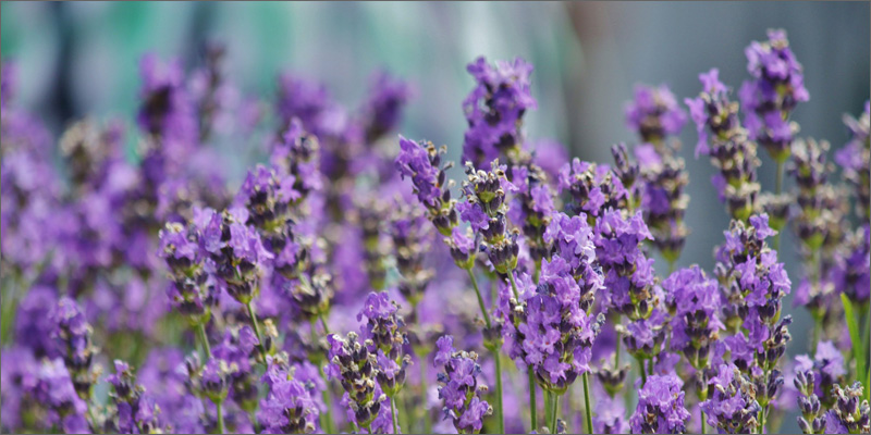 terpenes lavendar What Are Cannabis Terpenes And What Do They Do?
