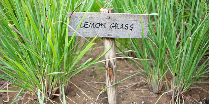terpenes lemon grass What Are Cannabis Terpenes And What Do They Do?