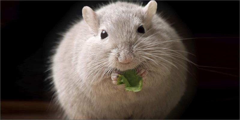 diabetes rat Marijuana and Diabetes   An In depth Look