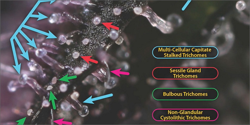 trichomes 3types The Best Video Explaination About Cannabis Trichomes