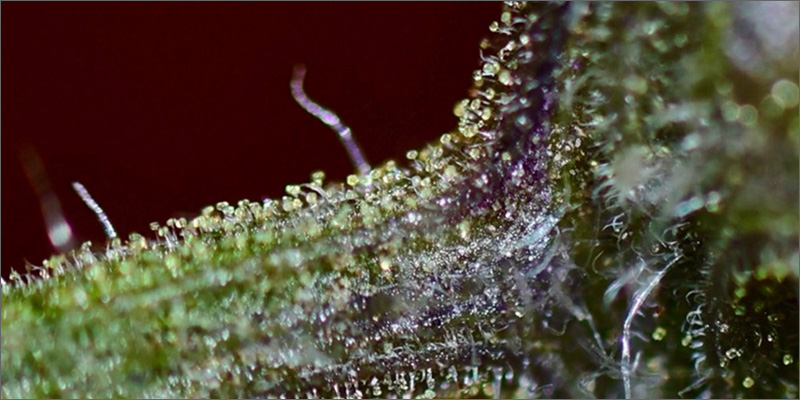 trichomes power The Best Video Explaination About Cannabis Trichomes