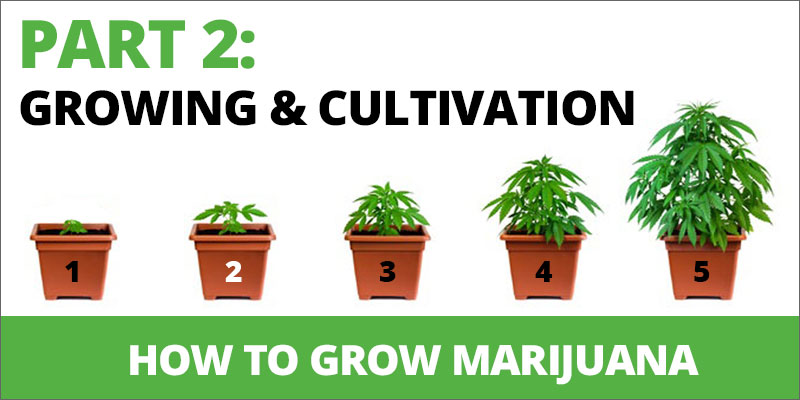 How To Grow Marijuana Step 2 Growing And Cultivation