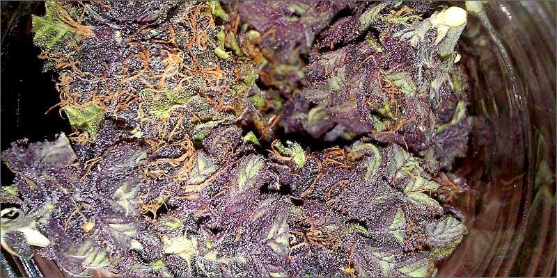 purple How To Grow Marijuana Step 5: Curing & Max Your Bud Hacks!