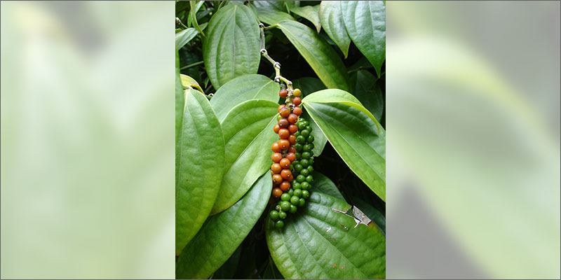 cannabinoid plants blackpepper Check Out These Non Marijuana Plants That Contain Cannabinoids