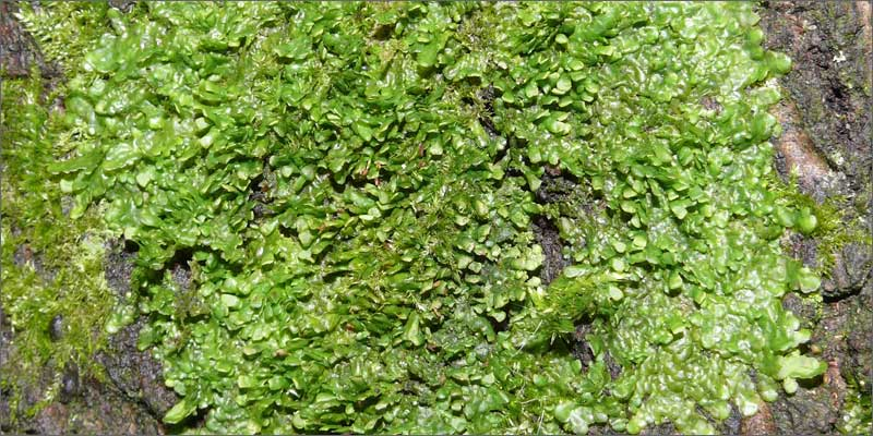 cannabinoid plants liverwort Check Out These Non Marijuana Plants That Contain Cannabinoids