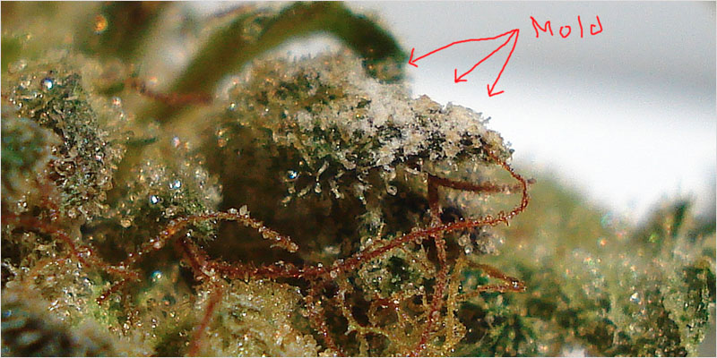 Moldy Weed 2 Heres How To Protect Your Weed From Mold