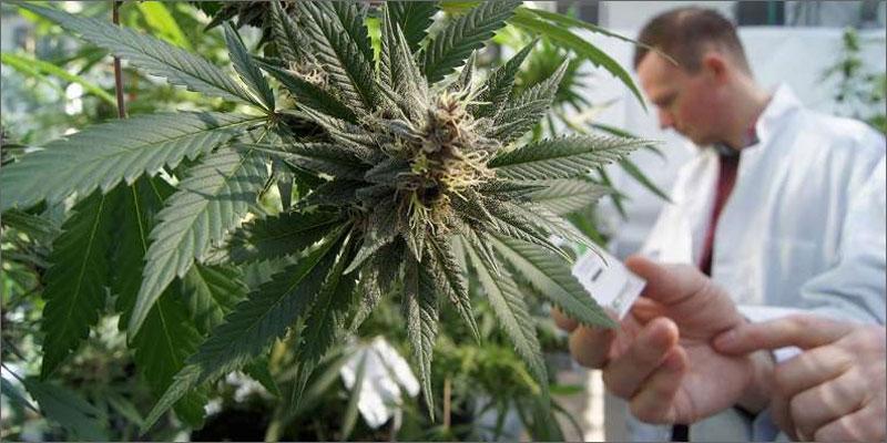 cannabis and parkinsons plant Does Cannabis Help Parkinsons Disease?