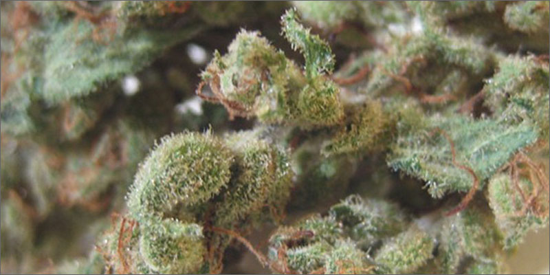 5 best strains cannabis pain relief closeup Ultimate Guide To Strains You Need To Use For Pain Relief