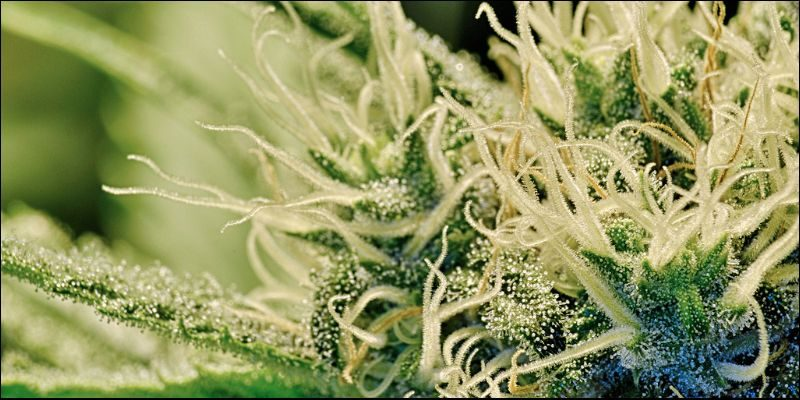 Best Medical Cannabis2 How To Make The Best Medical Cannabis Oil