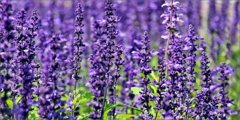 2 medicinal herbs with cannabis lavender 7 Medicinal Herbs To Pair With Cannabis