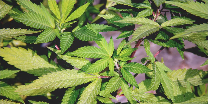 Crohns Disease 1 Will Cannabis Help Send Crohns Disease Into Remission?