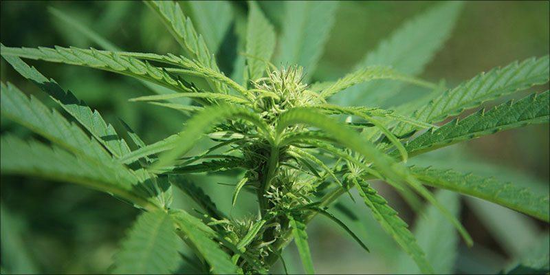 Long-Term cannabis use