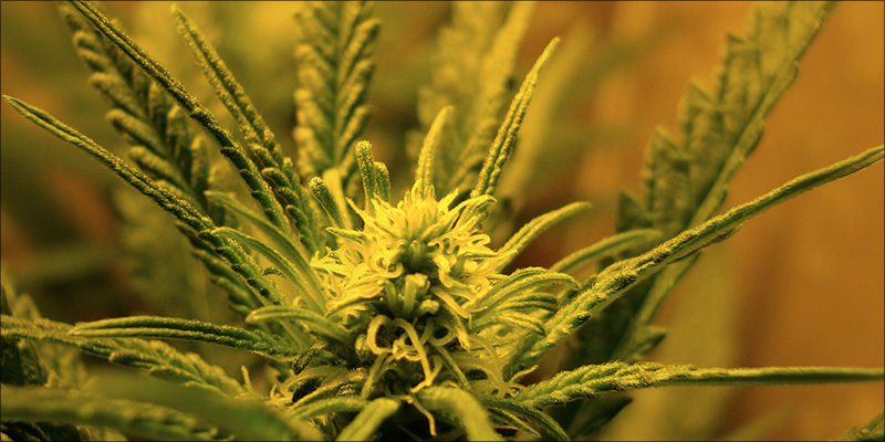 Does Cannabis Help 1 Does Cannabis Help Or Hinder Chemotherapy Treatment?