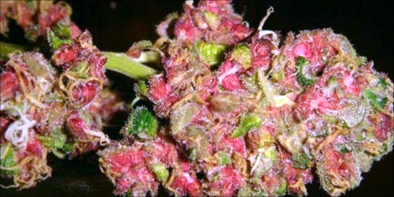 Is Pink Weed 3.5 Pink Cannabis Is A Real Thing And Its Gorgeous