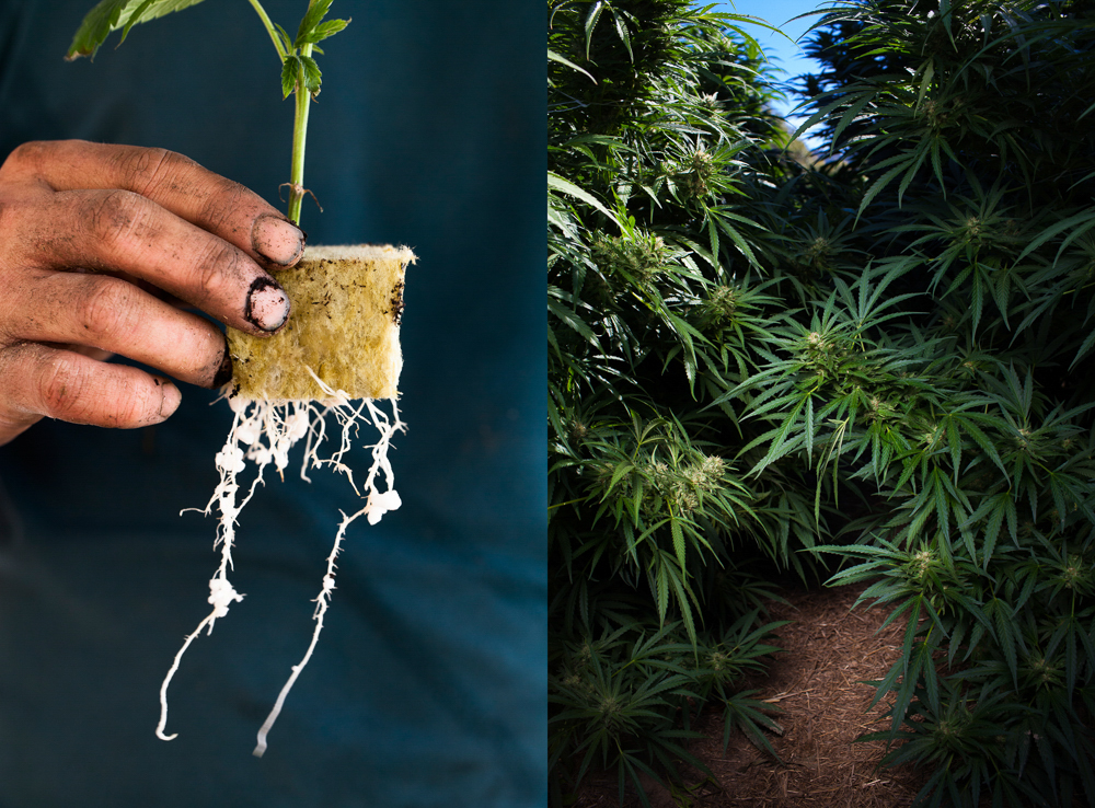 cannabis photographer kristen angelo herb 12 This illegal pot growers daughter is fighting corporate cannabis with photography