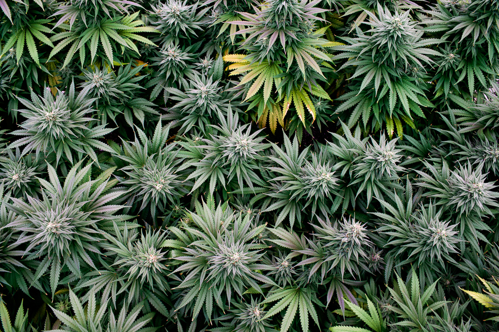 cannabis photographer kristen angelo herb 4636 This illegal pot growers daughter is fighting corporate cannabis with photography