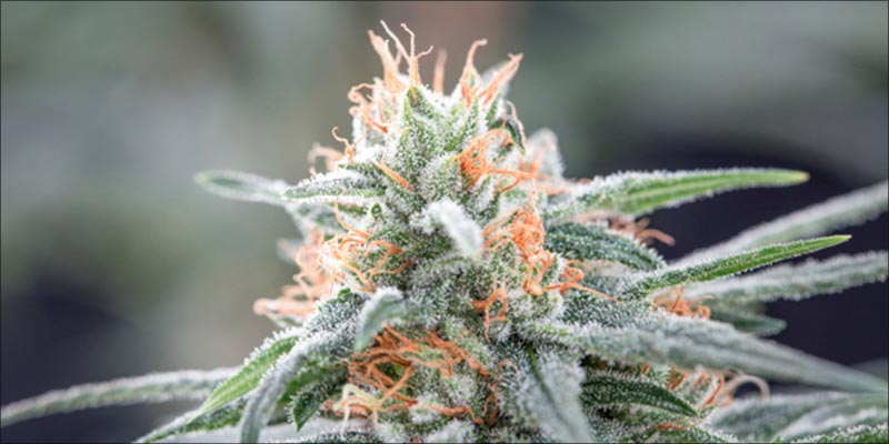 10 Best CBD 5 10 High CBD Strains That Will Help Calm Your Anxiety