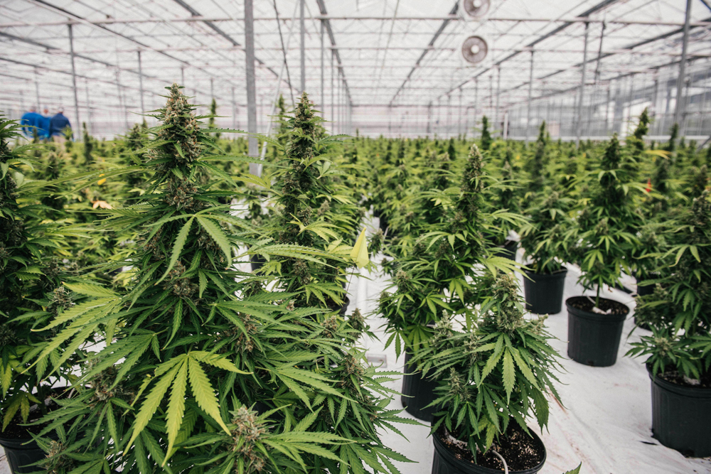Canopy Growth2 Canadian cannabis producer receives $175 million investment from major bank