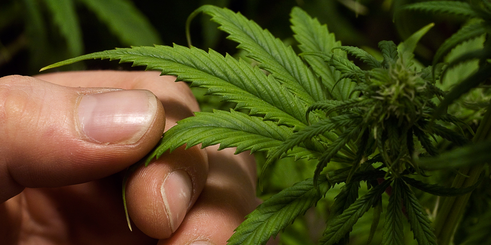 cannabis sativa why hasnt it been Cannabis has been used for medicinal purposes for thousands of years by federal law, the possession of cannabis is illegal in the united states, except within approved research settings however, a growing number of states, territories, and the district of columbia have enacted laws to legalize its medical use.
