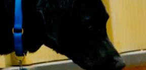 A black Lab named Miley dog