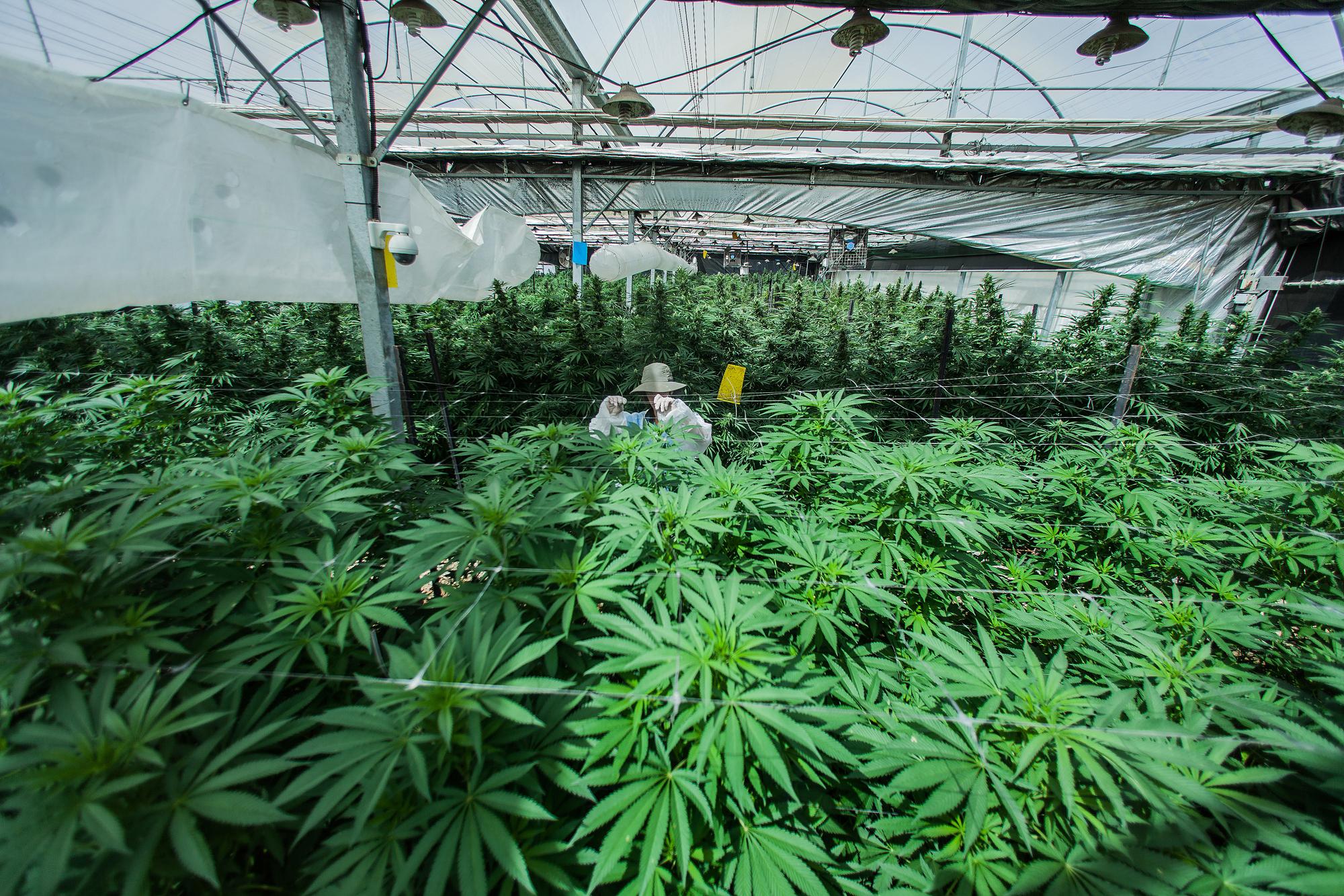 CannabisCancer1 A hard look at whether cannabis really cures cancer