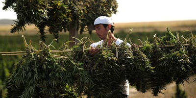 A Government Reports Finds There Are Health Risks To Cannabis Cultivation