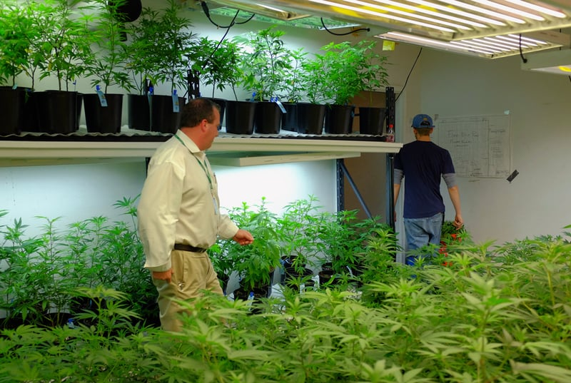 GettyImages 468729130 Harvard study finds liberal cannabis policies fuel innovation