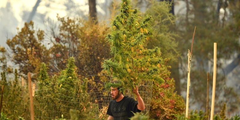 California's Marijuana Regulations Leave Behind Generations Of Humboldt Family Farms