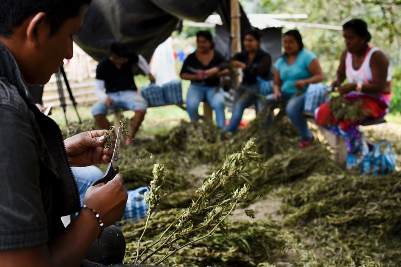 GettyImages 517003198 Colombia may soon supply the world with medical cannabis