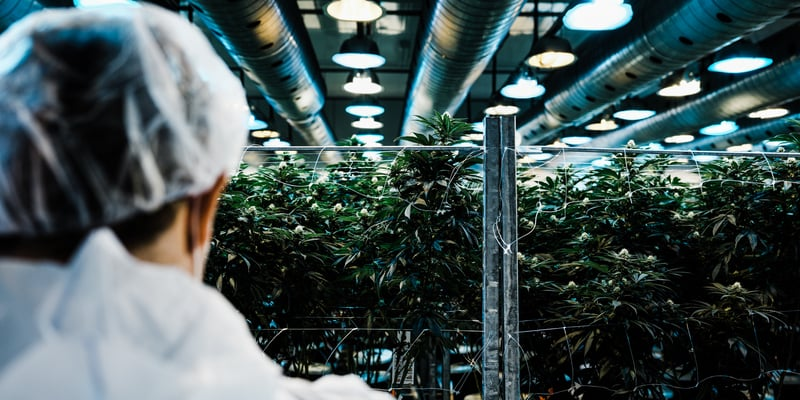Worker examining Cannabis plants growing in the Canopy Growth facilities in Smith's Falls, Ontario.